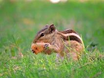 Ein Eichhörnchen Lizenzfreies Stockbild