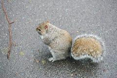 ein Eichhörnchen auf Asphaltstraße Lizenzfreies Stockfoto