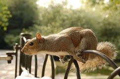 Ein Eichhörnchen auf dem Zaun Stockfotografie