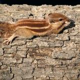 Ein Eichhörnchen auf einem Baum Stockbild