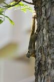 Ein Eichhörnchen auf einem Baum Stockfotografie