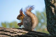 Ein Eichhörnchen auf einem Baum Stockfotos