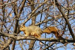 Ein Eichhörnchen, das auf den Baumast geht Lizenzfreie Stockfotos