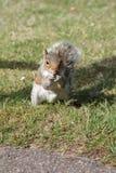 Ein Eichhörnchen, das in Bournemouth-Park isst Stockbild