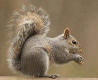 Ein Eichhörnchen, das eine Erdnuss isst Lizenzfreies Stockfoto