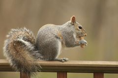 Ein Eichhörnchen, das eine Erdnuss isst Stockfotos