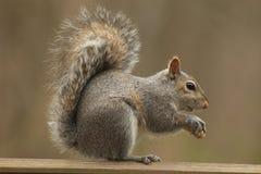Ein Eichhörnchen, das eine Erdnuss isst Stockbilder