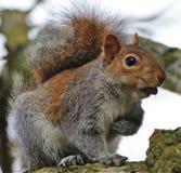 Ein Eichhörnchen, das eine Mutter isst lizenzfreie stockfotografie