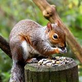 Ein Eichhörnchen, das einen Snack des frühen Morgens isst Lizenzfreie Stockbilder