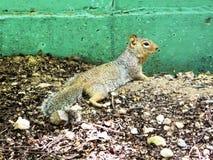 Ein Eichhörnchen, das nach Lebensmittel unter den Resten eines verlassenen Zoos sucht lizenzfreie stockbilder