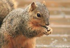 Ein Eichhörnchen, das recht aufwirft Stockfotos