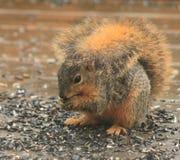 Ein Eichhörnchen, das recht aufwirft Stockfotografie