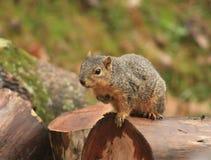Ein Eichhörnchen, das recht aufwirft Stockbilder