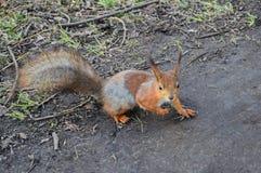 Ein Eichhörnchen in der Allee Stockbilder