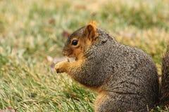 Ein Eichhörnchen-Essen 2 Stockfotografie
