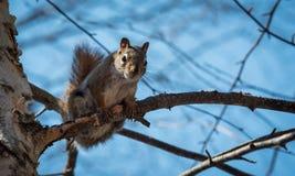 Ein Eichhörnchen folgt mir um, wo er im Wald nahe einem Häuschen lebt Lizenzfreies Stockbild