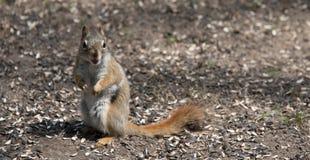 Ein Eichhörnchen folgt mir um, wo er im Wald nahe einem Häuschen lebt Stockfotografie