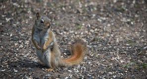 Ein Eichhörnchen folgt mir um, wo er im Wald nahe einem Häuschen lebt Lizenzfreie Stockfotografie