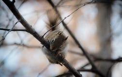 Ein Eichhörnchen folgt mir um, wo er im Wald nahe einem Häuschen lebt Stockfotos