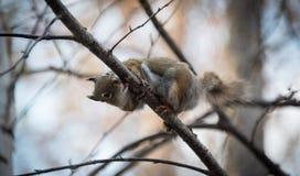 Ein Eichhörnchen folgt mir um, wo er im Wald nahe einem Häuschen lebt Stockbilder