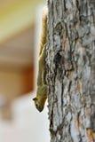 Ein Eichhörnchen im Baum Lizenzfreie Stockbilder