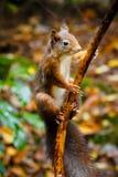 Ein Eichhörnchen im Wald von Beekbergen, nahe Apeldoorn, die Niederlande Lizenzfreies Stockfoto