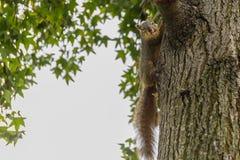 Ein Eichhörnchen klettert einen Baumstamm mit einer Nuss in seinem Mund und schaut Lizenzfreies Stockfoto