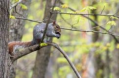 Ein Eichhörnchen mit einer schwarzen Walnuss stockfotografie