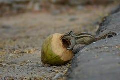 Ein Eichhörnchen mit Kokosnuss stockbild