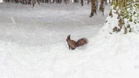 Ein Eichhörnchen unter Baum, auf weißem Schnee im Park, Schneefälle, Blizzard, Wintersaison Stockfotografie