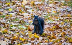 Ein Eichhörnchen wirft für ein Bild auf Stockbild
