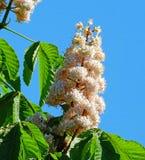 Ein eindrucksvolles springflower, die Kastanien-Blume Stockbilder