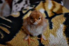 Ein eines-Tag-alt Huhn Lizenzfreie Stockfotos