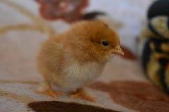 Ein eines-Tag-alt Huhn Lizenzfreies Stockbild