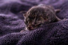 Ein eines-Tag-alt Kätzchen der getigerten Katze auf dunkler Decke Stockbilder
