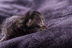 Ein eines-Tag-alt Kätzchen der getigerten Katze schläft auf dunkler Decke Stockfotos