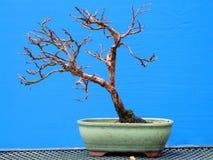 Ein einfacher shohin Potentilla Fruticosa-Bonsai im frühen Training durch einen Nordirland-Enthusiasten Stockfotos