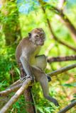 ein einsamer Affe sitzt auf einem Zaun Lizenzfreie Stockfotos