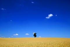 Ein einsamer Baum auf einem großen Maisgebiet Stockfotografie