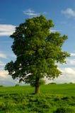Ein einsamer englischer Eichen-Baum stockfotografie