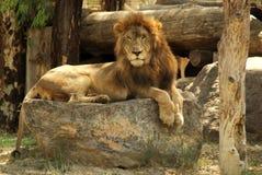 Ein einsamer Löwe auf den Felsen stockfotografie