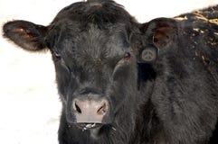 Ein einsamer schwarzer Angus-Stier Stockfotos