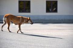 Ein einsamer trauriger böser streunender Hund wandert um die Stadt lizenzfreies stockbild