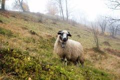 Ein einsames Schaf in nebeligem Autumn Forest lizenzfreies stockbild