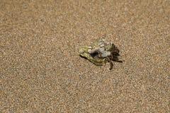 Ein Einsiedlerkrebs mit einem Oberteil auf dem Sand im Meer Stockfoto