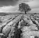 Ein einzelner Baum auf einer Kalksteinpflasterung stockfotografie