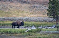Ein einzelner Bison schlägt eine Haltung Lizenzfreie Stockbilder