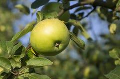 Ein einzelner grüner Apfel auf Baum Stockfotografie