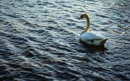 Ein einzelner H?ckerschwan im Teich lizenzfreie stockbilder