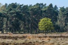 Ein einzelner junger Kastanienbaum gegen einen Hintergrund von dunkelgrünem Stockfotografie